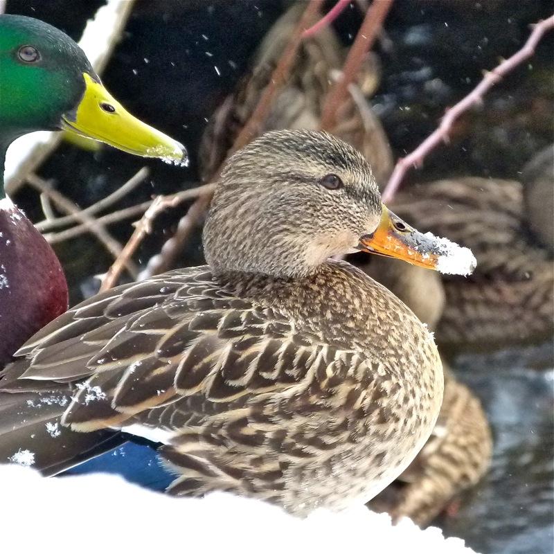 Ducks800_3