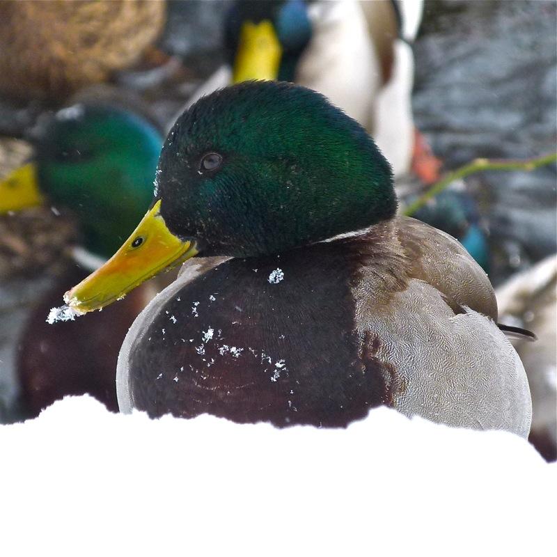 Ducks800_5
