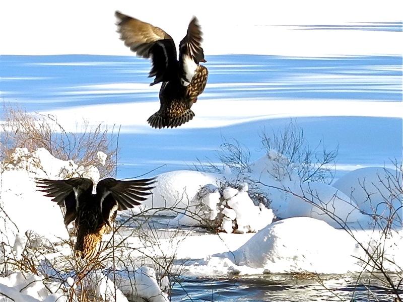 DucksFlight4